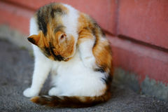 White and Red Cat lick washes itself sitting near wall Royalty Free Stock Image