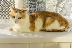 White and red cat lying on the windowsill Royalty Free Stock Image