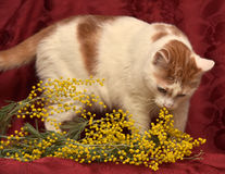 White with red cat and mimosa Stock Photo