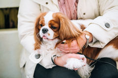 White and red Cavalier King Charles Spaniel Dog. Sits in hands of woman Stock Photos