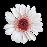 White and red chrysanthemum flower macro isolated Stock Images