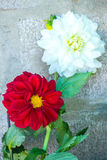 White and red  chrysanthemum flower Stock Images