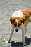 White and red-colored dog. On the beach of Tersta on the island of Crete Stock Photography