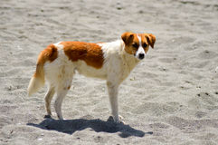 White and red-colored dog. On the beach of Tersta on the island of Crete Royalty Free Stock Photography