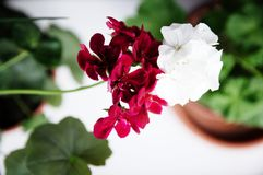 White and red couple, spanish ivy geranium with scarlet red flowers and white common geranium, Geranium Peltatum, Ivy-leaf. Different in pair concept, house stock photos