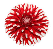 White Red Dahlia Stock Images