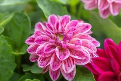 White and red Dahlia flower. Stock Images