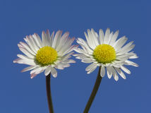 White and red daisies Stock Photos