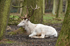 White red deer  or white stag Stock Photos