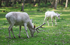 White red deers eating the grass in the forest Stock Images