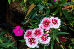 White red dianthus Chinensis Flowers Stock Photo