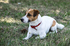 A white and red dog Jack Russell Terrier lying and resting on green grass outdore Royalty Free Stock Photos