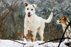 White and red dogs in the winter, snowy forest stock photography