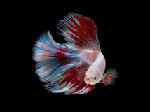 White red fighting fish on black background with clipping path Stock Image