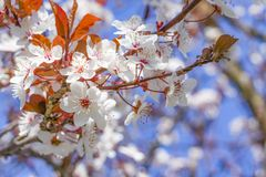 White red flowers of Prunus cerasifera. Blossoming branch with with flowers of cherry plum. Blooming tree. Prunus divaricata stock images