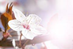 White red flowers of Prunus cerasifera. Blossoming branch with with flowers of cherry plum. Blooming tree. Prunus divaricata stock photo