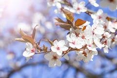 White red flowers of Prunus cerasifera. Blossoming branch with with flowers of cherry plum. Blooming tree. Prunus divaricata. Blooming garden stock photo
