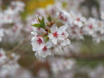 White red flowers of Prunus cerasifera. Blossoming branch with with flowers of cherry plum stock photo
