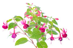 White  and red fuchsia flower isolated Royalty Free Stock Photography