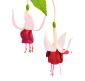 White  and red fuchsia flower isolated Stock Images