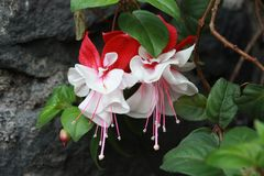 White and Red Fucsia flower Stock Photos