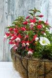 White-red garden fuchsia Stock Images