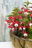 White-red garden fuchsia Stock Photos