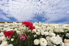 A white and red garden ranunculus Royalty Free Stock Photography