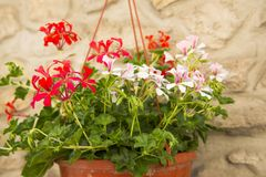 White and red geranium flowers. In the pot royalty free stock photo