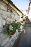 White and red geranium flowers. In the pot stock images