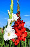 White and red gladioli Duo in field Royalty Free Stock Photography