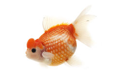 White and Red Goldfish Stock Photo