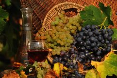 White and red grapes in a barrel of wine. Fall Royalty Free Stock Photography