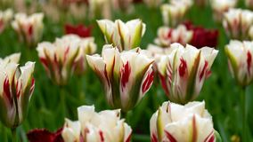 White, red and green Viridiflora Tulips in the garden stock photography