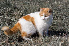 White and red-haired cat Royalty Free Stock Image