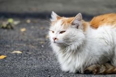 White-red-headed cat catches pheromones. A white-red-headed cat catches pheromones royalty free stock photos