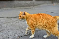 White-red-headed cat lay near the wall, but in his field of vision there was something interesting.  royalty free stock image