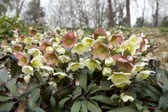 White and red hellebore Stock Photos