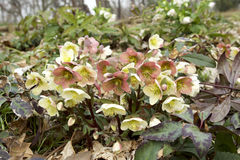 White and red hellebore Royalty Free Stock Photo