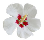 White Red Hibiscus Royalty Free Stock Photos
