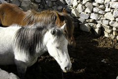 White and Red Horses in Nako Village Royalty Free Stock Photo