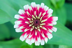 White and red hybrid Aster flower in Bangkok Thailand top view Stock Images