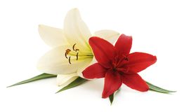 White and red lilies. White and red lilies on a white background Stock Images