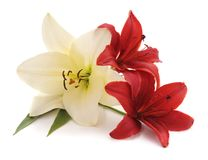 White and red lilies. stock photos