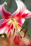 White-red lily Royalty Free Stock Photo
