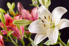 White and red lily Royalty Free Stock Image