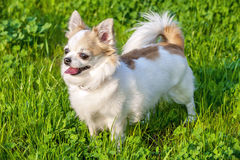 White with red long-haired Chihuahua dog on green lawn background. Summer outdoor shot Royalty Free Stock Photography
