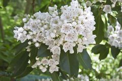White and Red Mountain Laurel Flowers Stock Photos