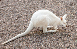 White Red-Necked Wallaby with Albino Genes in Australia Royalty Free Stock Image
