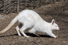 White red-necked wallaby (Macropus rufogriseus) Stock Photos